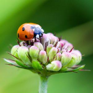 Ein Marienkäfer beim Vertilgen einer Blattlaus