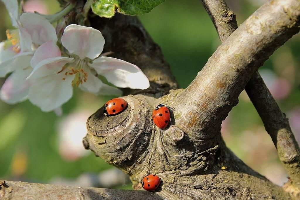 Drei Siebenpunkt-Käfer (Marienkäfer) an einem Baumstamm