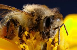 Nahaufnahme einer Wildbiene beim Bestäuben der Blüte