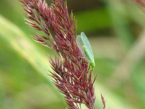 Eine grüne Florfliege an einer Blüte