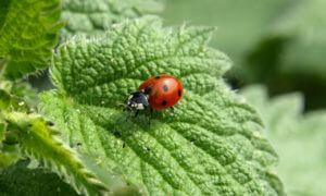 Ein Siebenpunkt-Käfer auf einem Blatt
