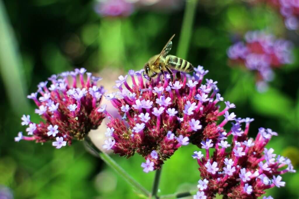 Eine Wildbiene beim Bestäuben einer Blüte. Viele Blumen werden durch eine gezielte Bestäubung durch Bienen heimgesucht